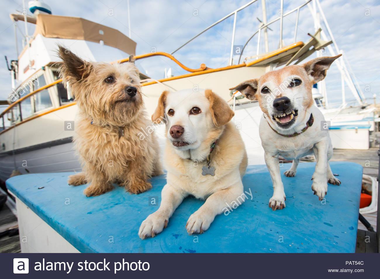 Drei senior Terrier hunde vor einem Boot mit einem Knurren Stockbild