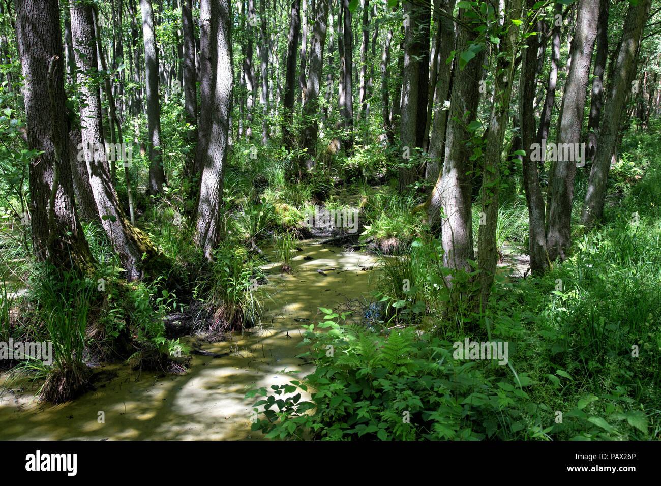 Alte Wald im Osten Deutschlands in der Nähe von der polnischen Grenze im Alter Bäume rund um sumpfigen Teich Stockbild