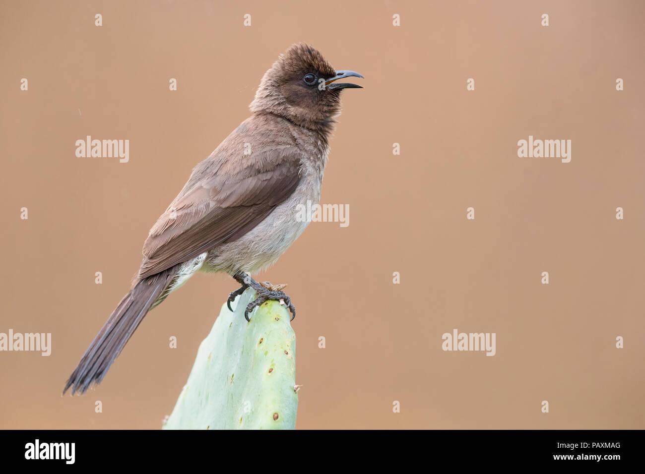Gemeinsame bulbul (Pycnonotus Barbatus), Erwachsene singen Von einem barbary Abb. Stockbild