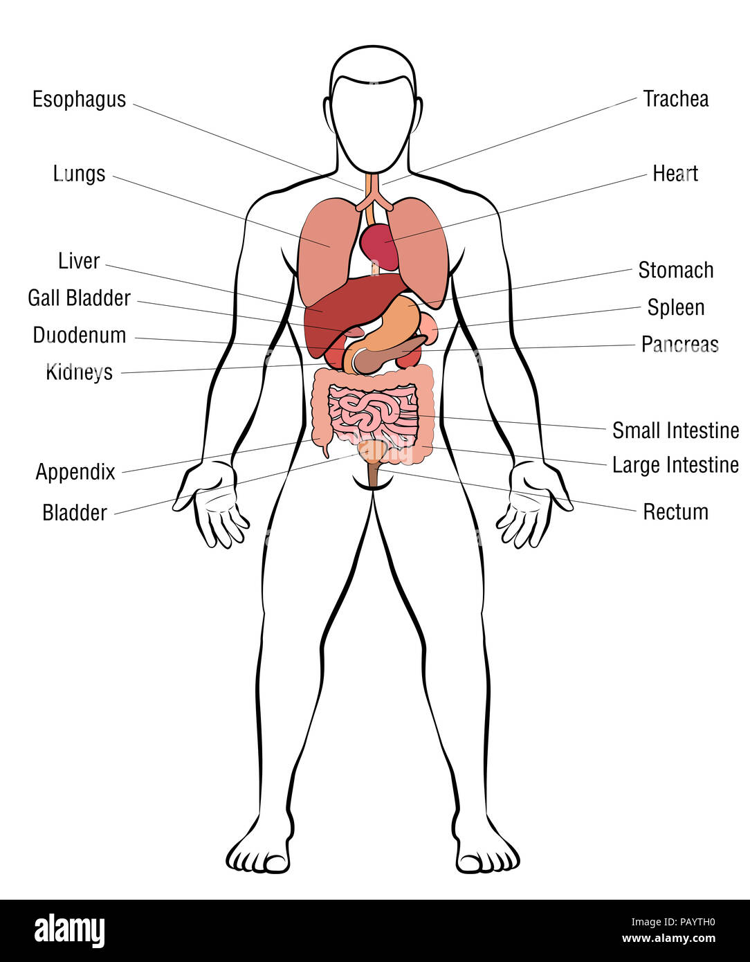 Innere Organe, männlichen Körper - schematische Darstellung der ...