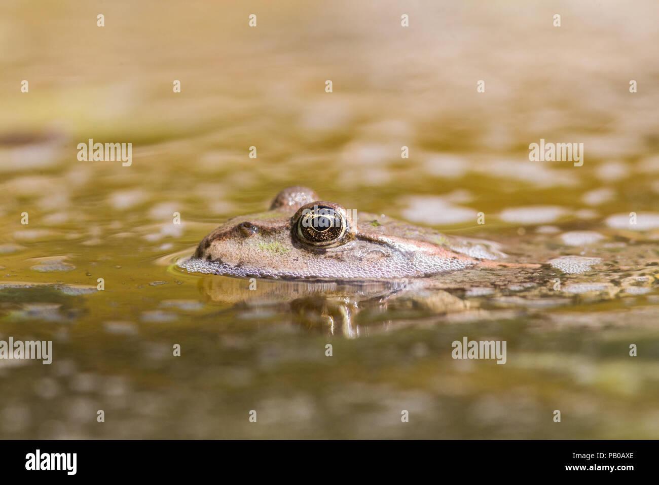 Grasfrosch Stockbild