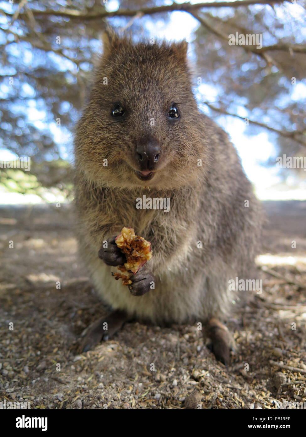 Glücklichste Tier auf Erden - Quokka-Setonix brachyurus ...