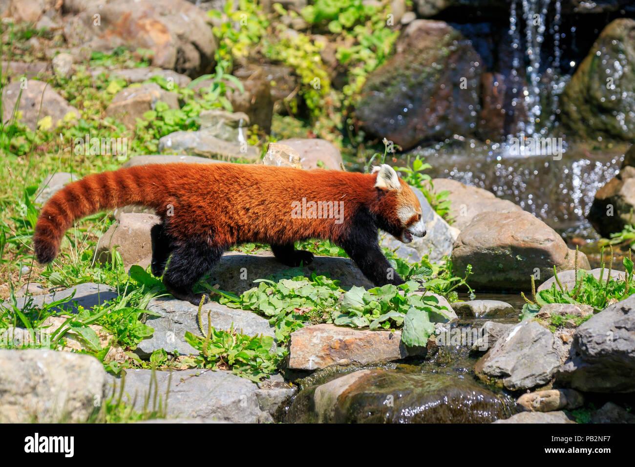 Kleine rote panda in einem baum mit blick auf die kamera ruht. dies