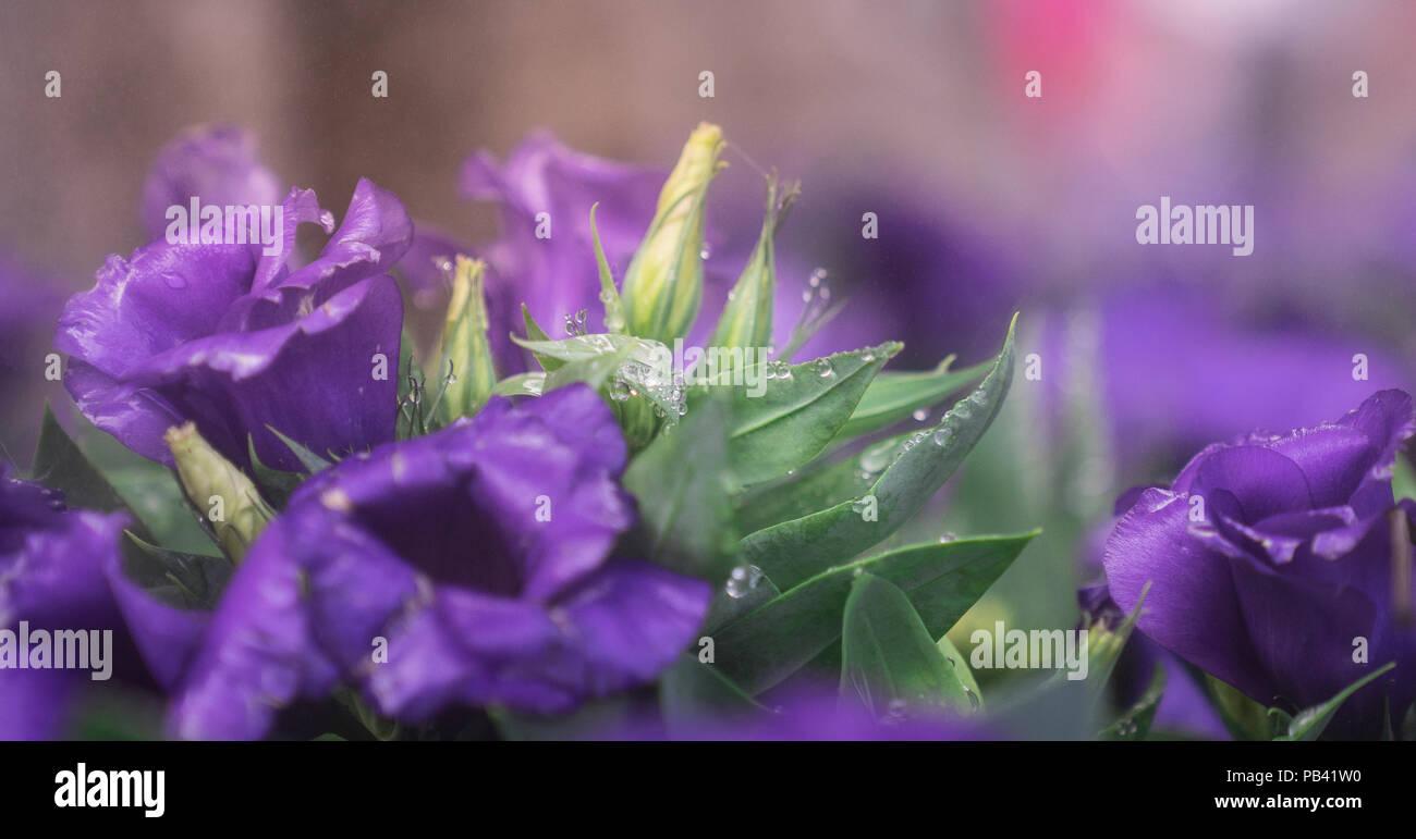Nahaufnahme Defokussierten Bud Der Lisianthus Blume Mit Blüte