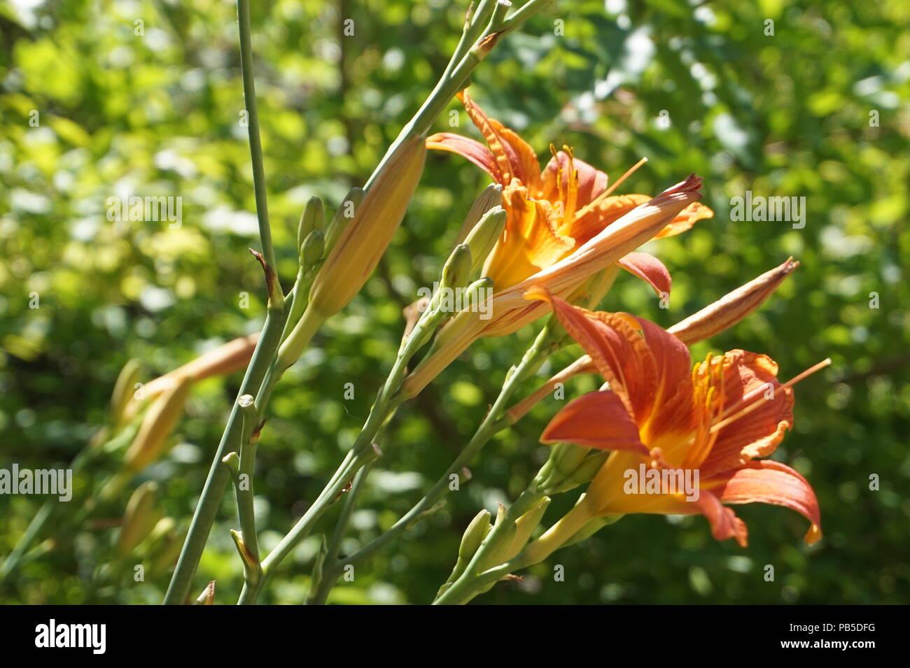 Wild Orange Lilies Stockfotos & Wild Orange Lilies Bilder - Alamy