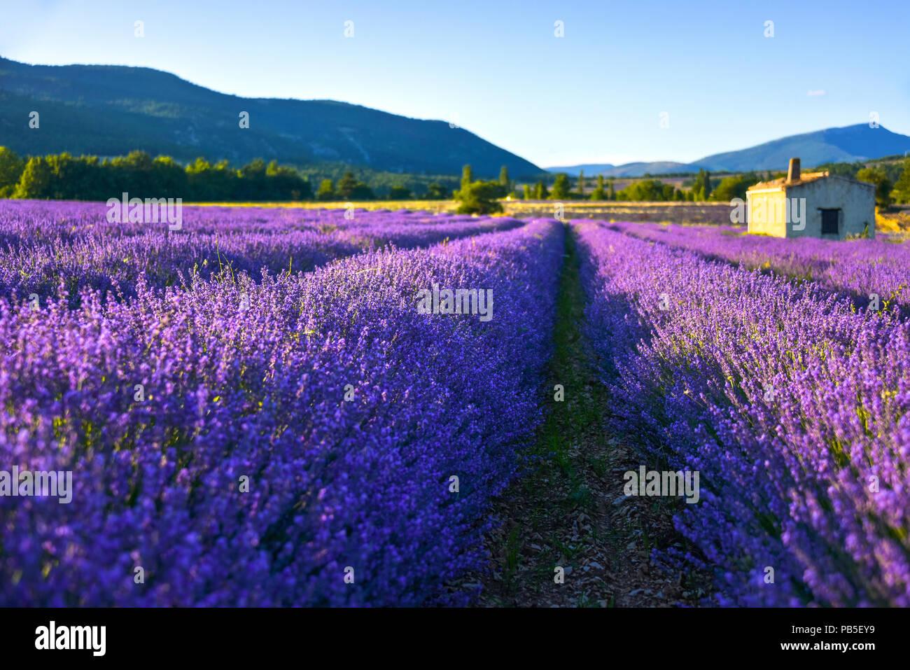 Weiche beleuchtete Lavendelfeld mit Hütte, Provence, Frankreich, verträumte schließen oben mit Unschärfe Stockbild