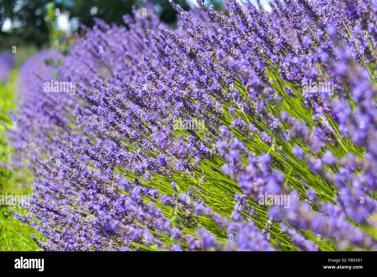 Blühende lavendel Bush in Grignan, Provence, Frankreich, in der Nähe Stockbild