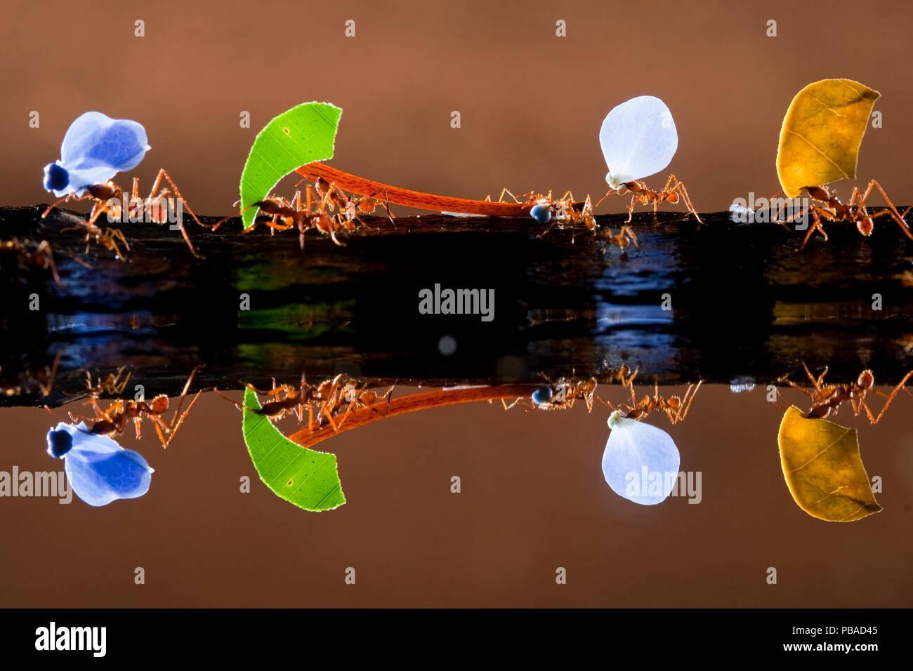 Blattschneiderameisen (Atta sp) Durchführung von bunten Pflanzen, im Wasser spiegelt, Laguna del Lagarto, Santa Rita, Costa Rica Stockbild
