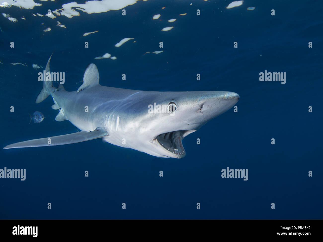 Blauhai (Prionace Hastata), Cape Point, Südafrika, Februar. Stockbild