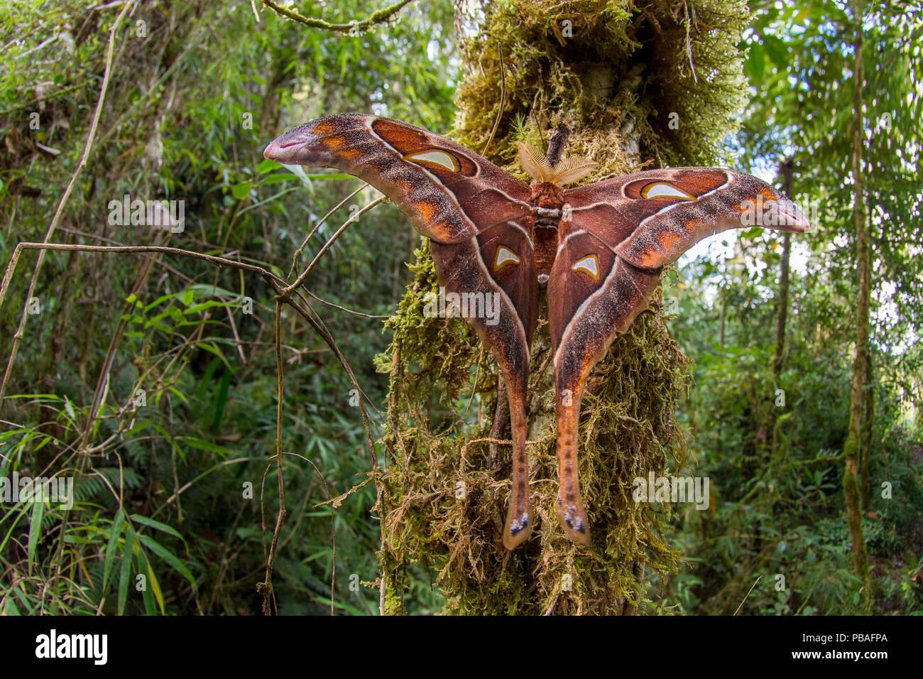Herkules Motte (Coscinocera Hercules) entstanden erst kürzlich in Montanen rinforest. Ambua Lodge, Tari, Hela Provinz, Papua Neu Guinea. Juni Stockbild
