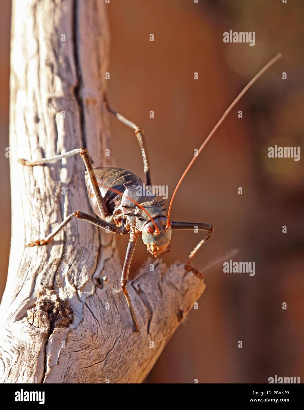 Bewehrte Erde Cricket (Acanthoplus Discoidalis) auf einen Baum, Namibia, Südafrika. Stockbild