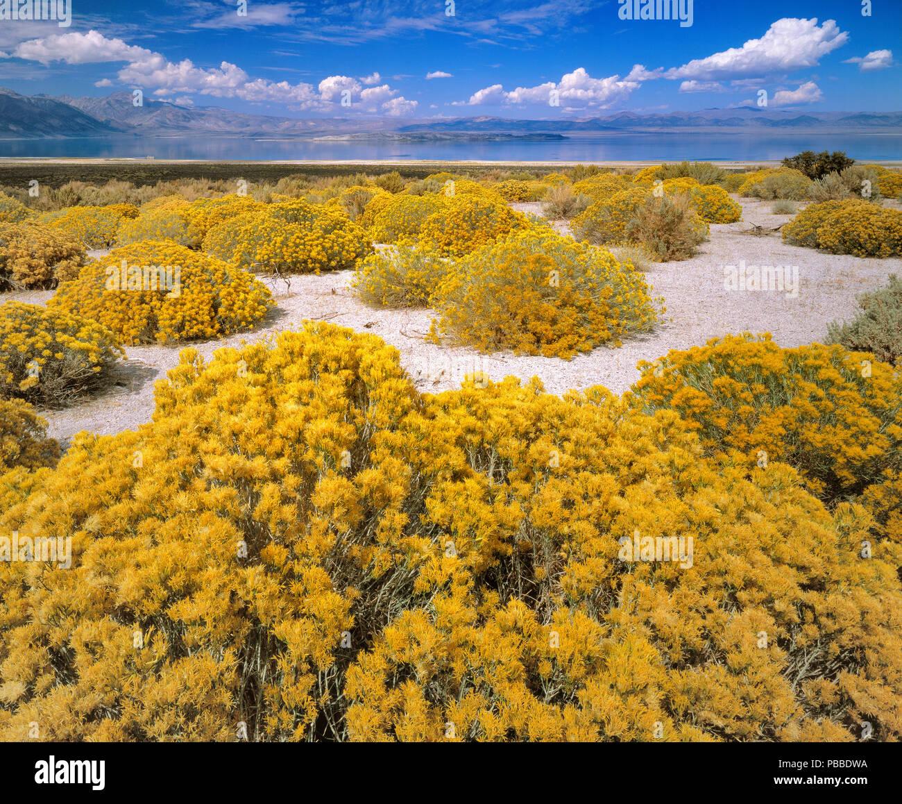 Rabbitbrush, Ericameria nauseosa, Mono Lake, Mono Basin National Forest Scenic Area, Inyo National Forest, Kalifornien Stockbild