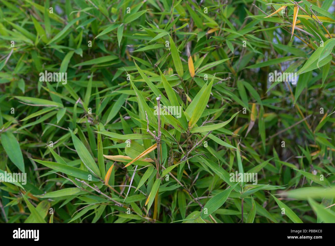 Blatter Von Phyllostachys Aurea Poaceae Knoten Bambus Pflanze Aus