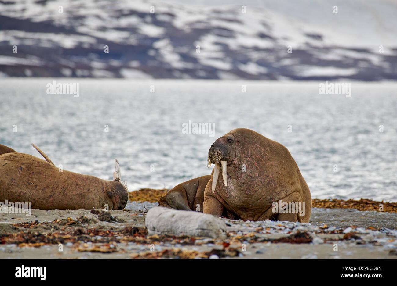 Walross, Odobenus rosmarus, Poolepynten oder Spitzbergen, Svalbard, Europa Stockfoto