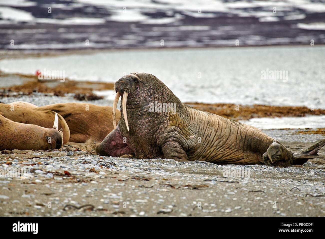 Walross, Odobenus rosmarus, Poolepynten oder Spitzbergen, Svalbard, Europa Stockbild