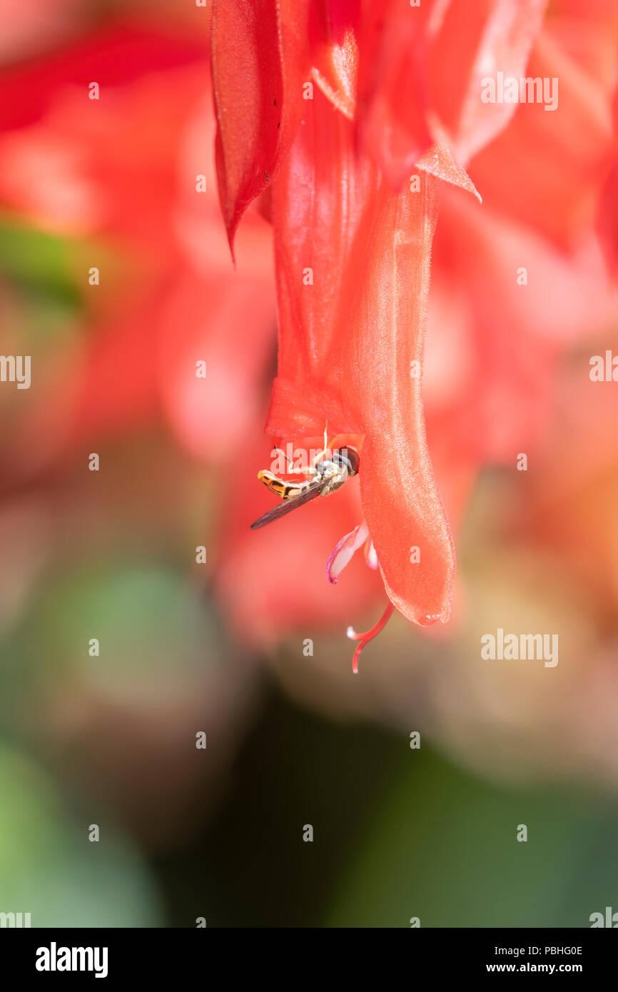 Makro einer Hoverfly (Toxomerus Marginatus) Pollen sammeln auf eine helle rote Blume Stockfoto