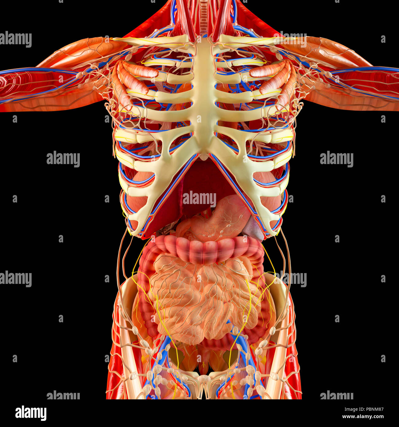 Menschliche Körper, Muskulatur, der inneren Organe, Verdauungssystem ...