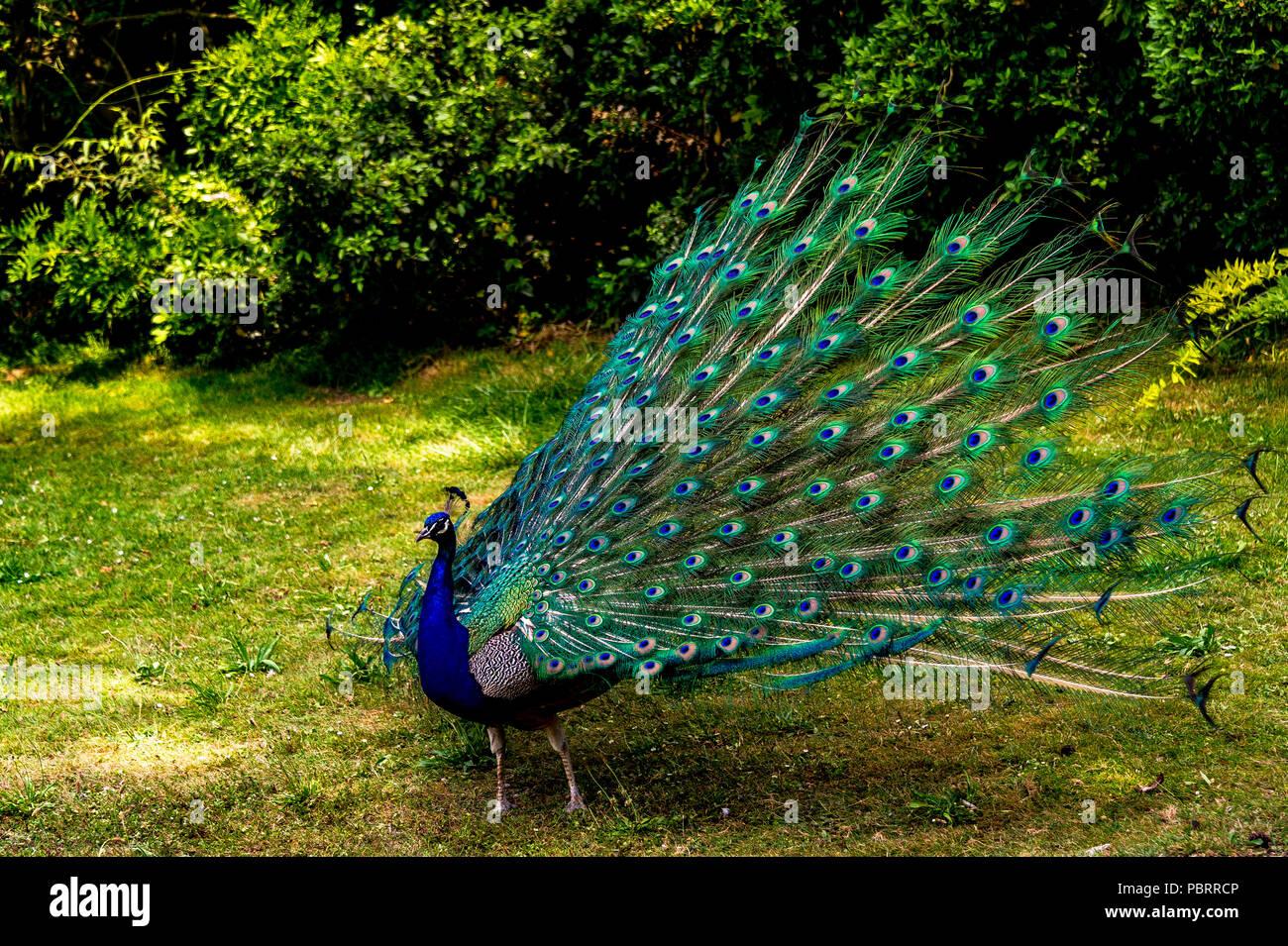 Peacock in einem Park in Paris, Frankreich Stockfoto