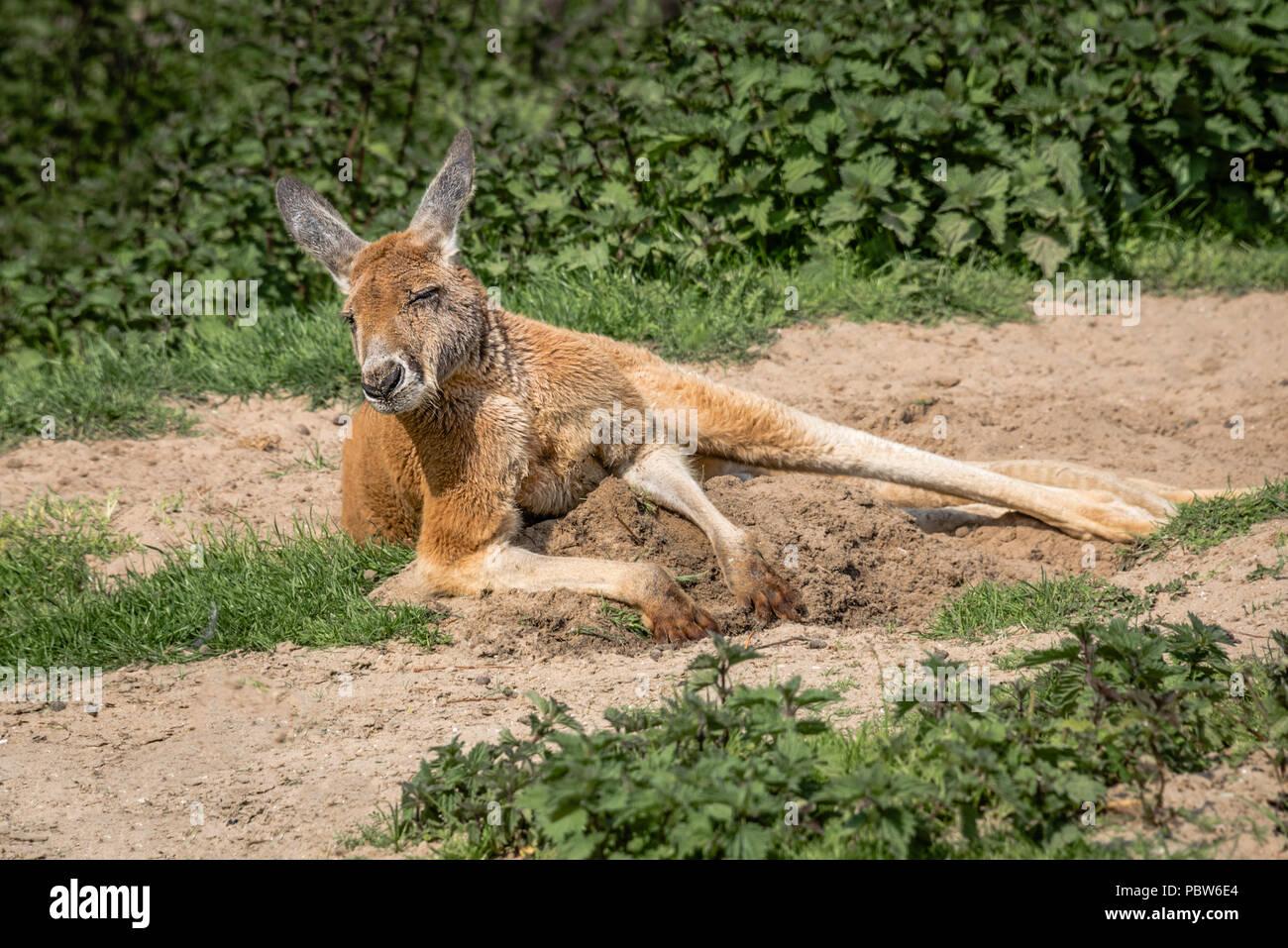 Känguru In Der Sonne Liegen Stockfotos Känguru In Der Sonne Liegen