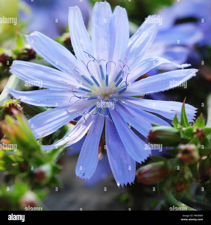 Blühende Pflanze Wild Cichorium Endivie Cichorium Pumilum Die