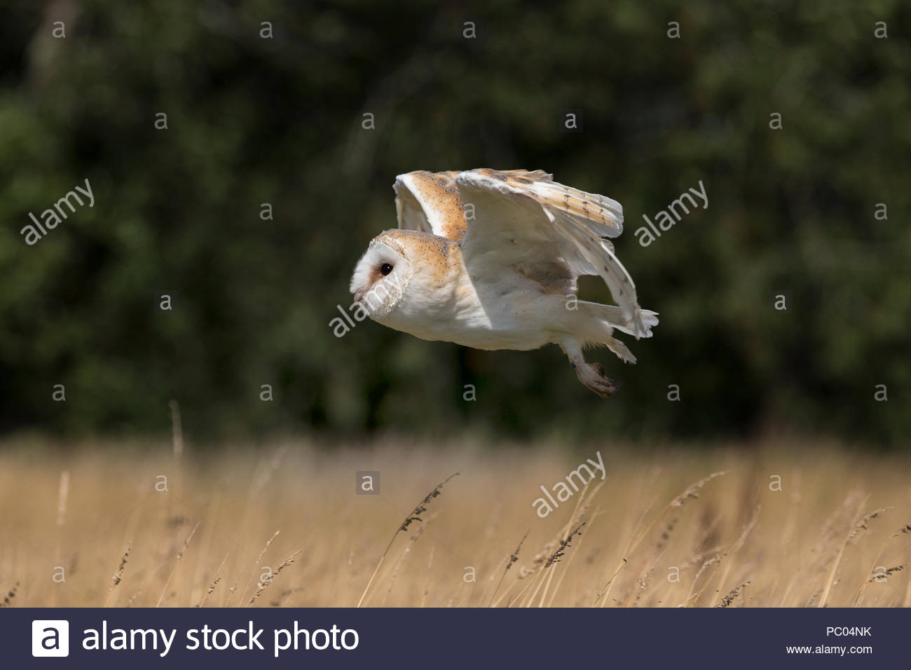 Schleiereule (Tyto alba), Captive, Cumbria, Vereinigtes Königreich, Stockbild