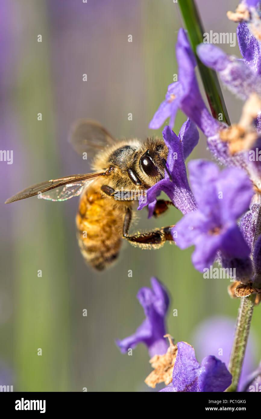 Eine Honigbiene, Apis, auf einem Lavendel Blume im Norden von Idaho. Stockbild