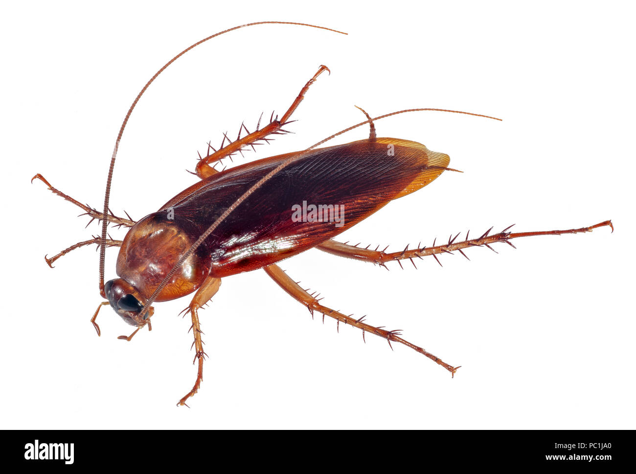 Cockroach Stockfotos Cockroach Bilder Seite 2 Alamy