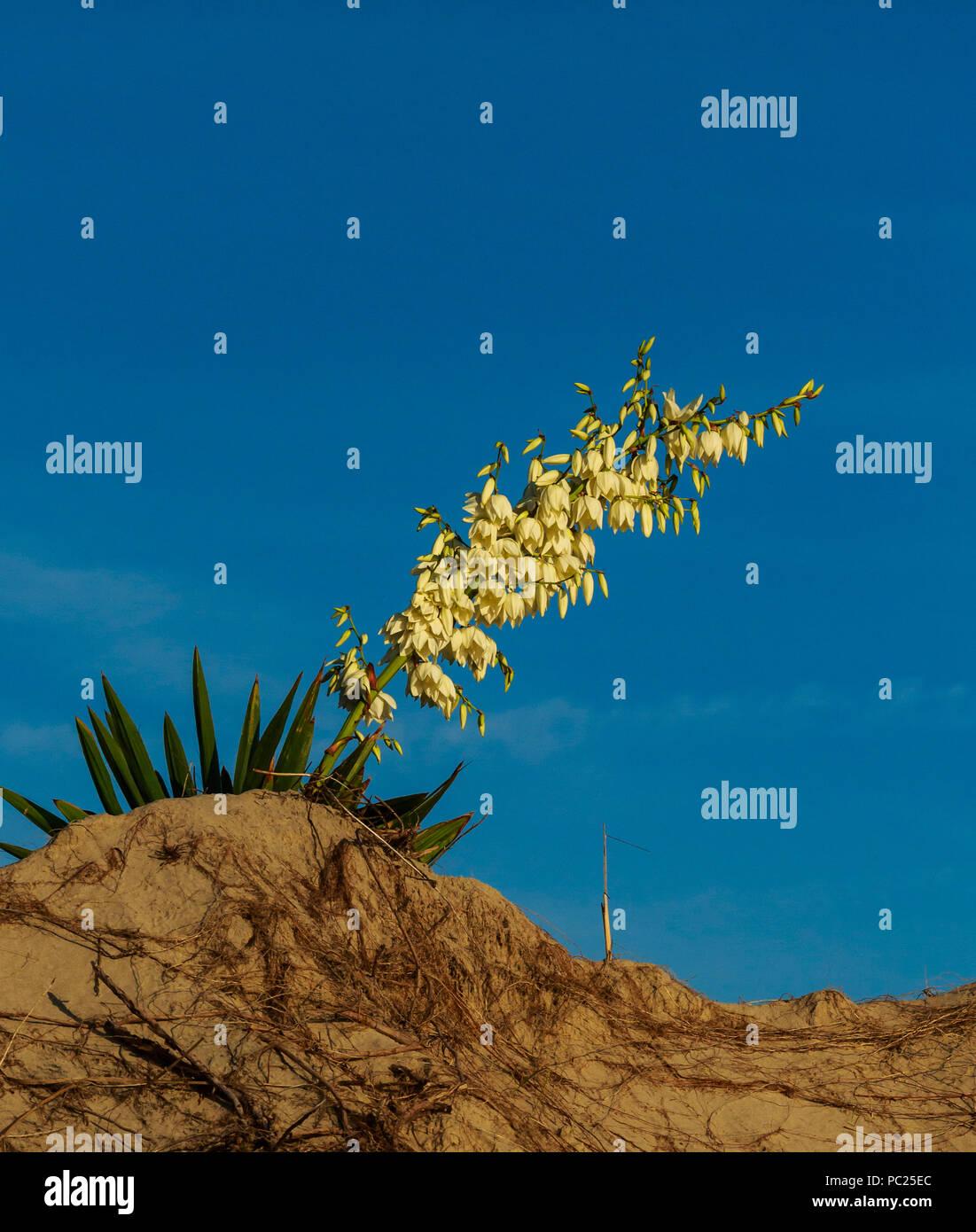 Ein blühender Yucca gloriosa (Gattung Asparagaceae) sitzt auf einem Morgen Strand Düne, von der Düne unter blauen Morgenhimmel gerahmt, Outer Banks, NC Stockbild