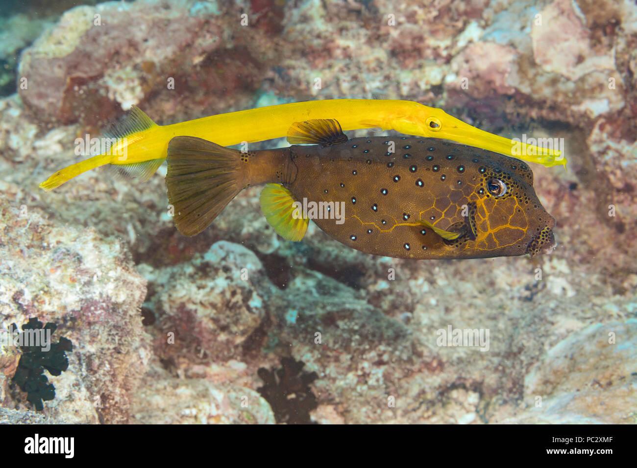 Diese trompetenfische, Aulostomus maculatus, ein Riff predator Schwimmen ist hinter einem gelben Kofferfisch, Ostracion cubicus, es als Blinde Beute aufzulauern, Ya Stockbild