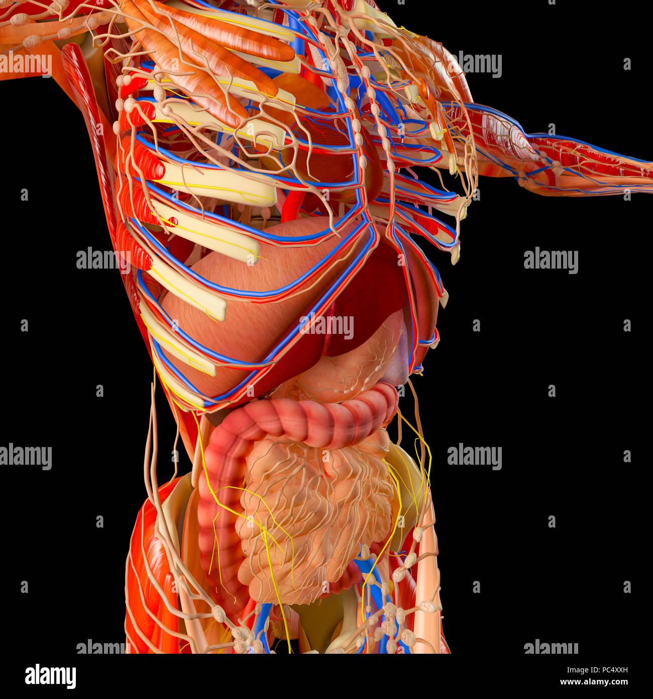 Menschliche Körper, Muskulatur, Verdauungssystem, Anatomie ...