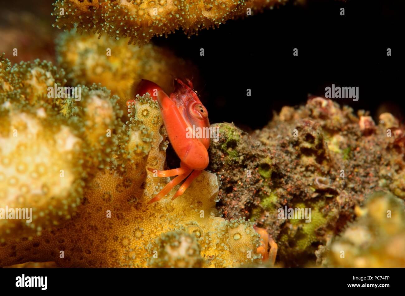 Krabben, Krabbe, Brachyura Stockbild