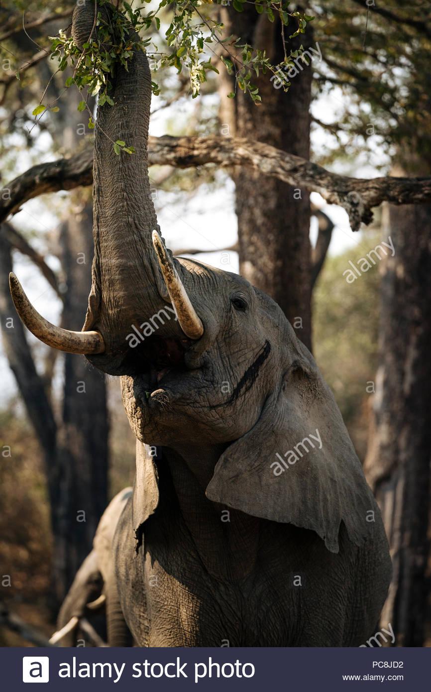 Afrikanischer Elefant, Loxodonta africana, Fütterung auf Laub. Stockbild
