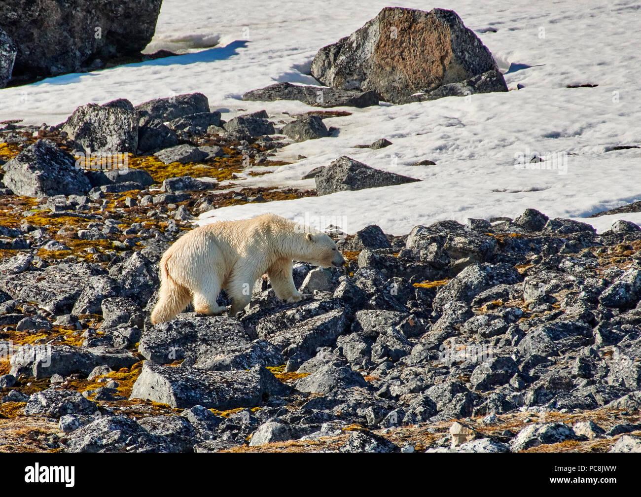 Eisbär (Ursus maritimus) weichen auf Steinen oder Spitzbergen, Svalbard, Europa Stockbild
