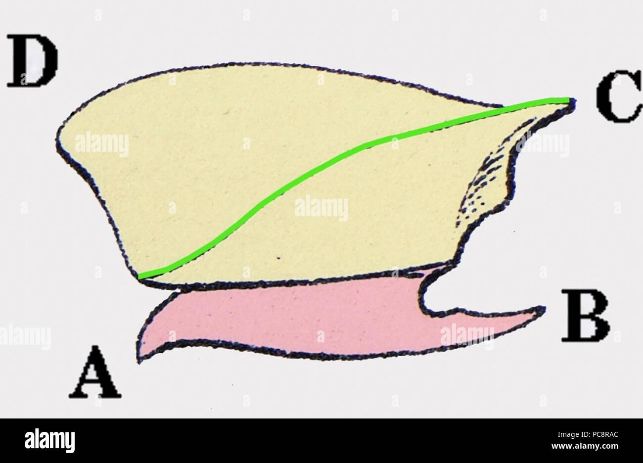 Agriotes lineatus prothorax. Stockbild