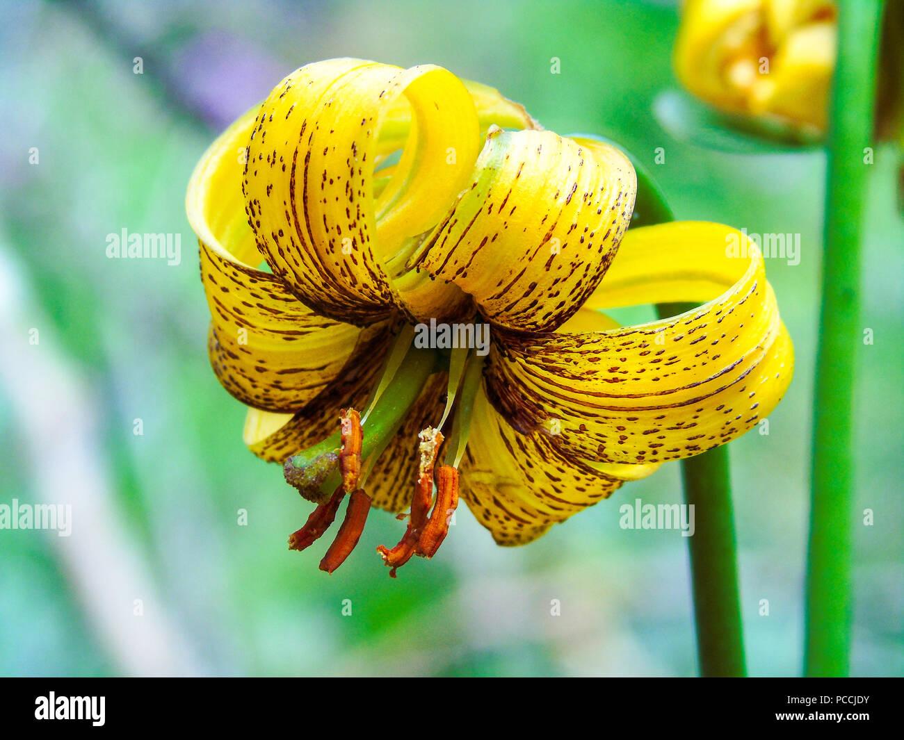 Lilium bosniacum ist eine Lilie native für Bosnien und Herzegowina. Es ist auch als goldene Lilie und bosnischen Lilie bekannt. Stockbild