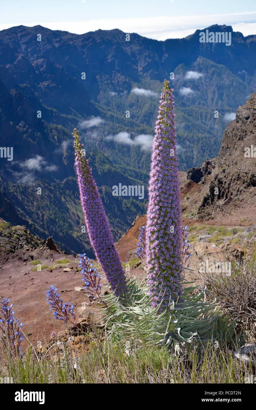 Echium wildpretii am Rand der Caldera de Taburiente, La Palma, Kanarische Inseln, Spanien Stockbild