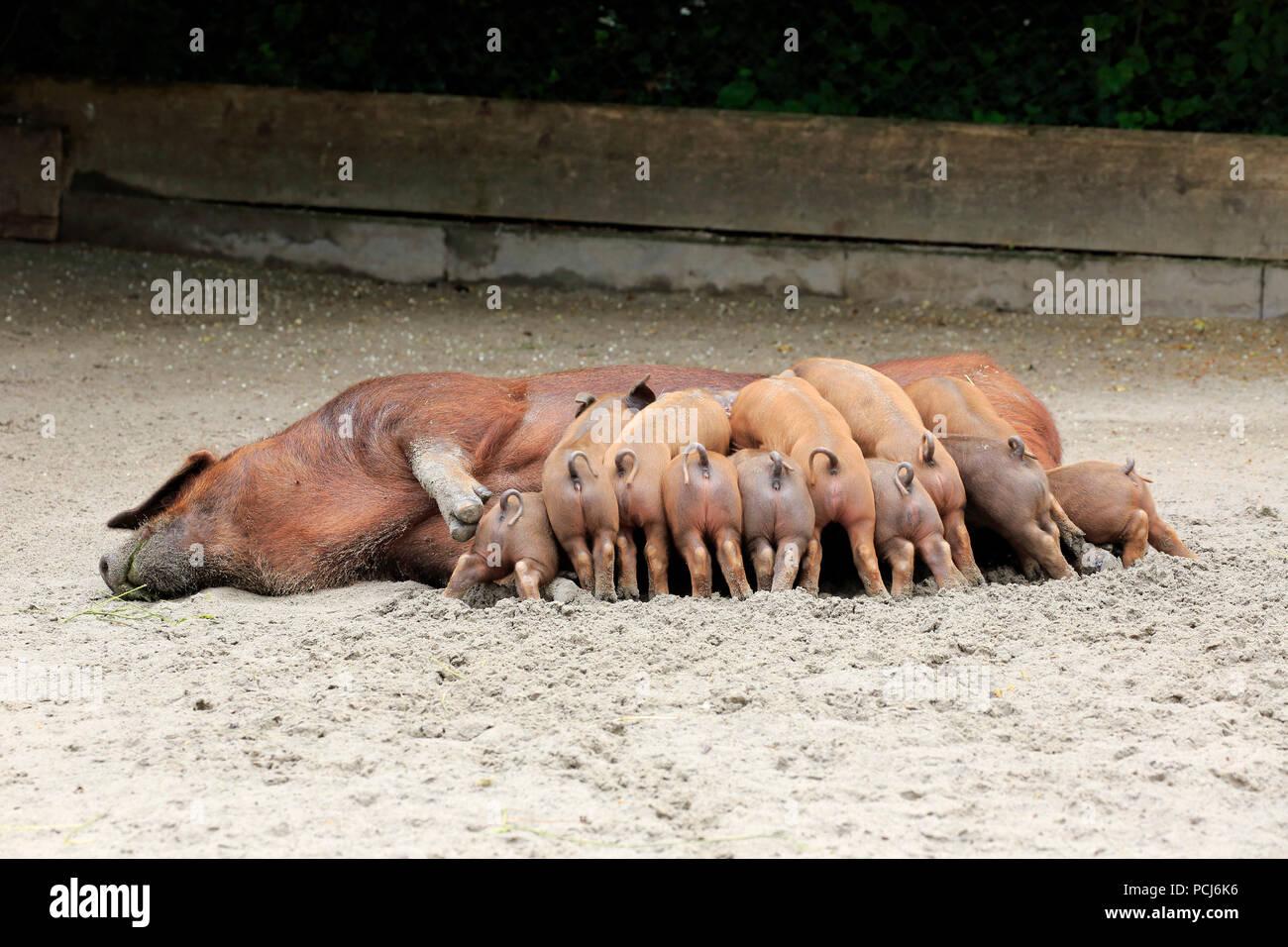 Hausschwein, erwachsene Weibchen mit Jungen säugen, Heidelberg, Deutschland, Europa, (Sus scrofa domesticus) Stockbild