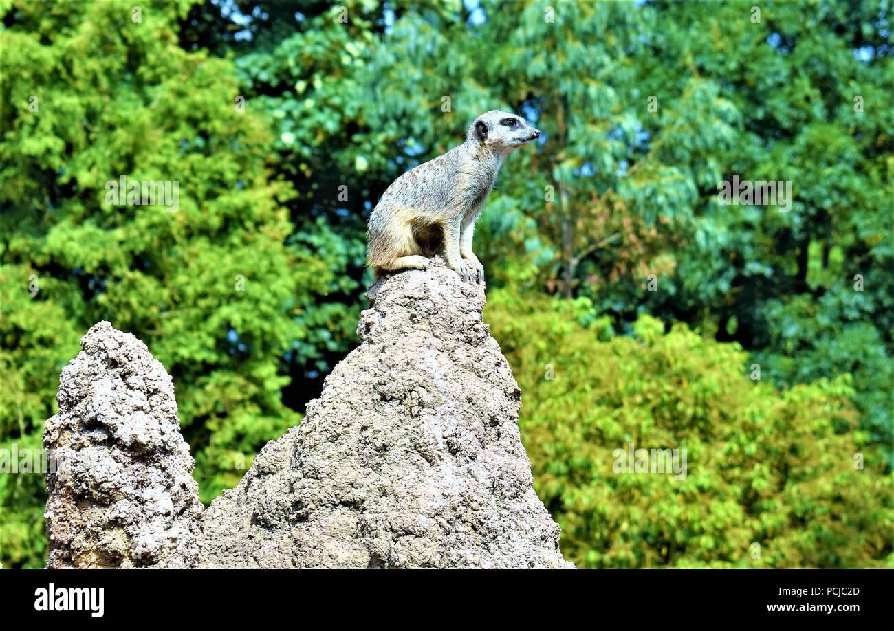 Erdmännchen auf dem Felsen Stockbild