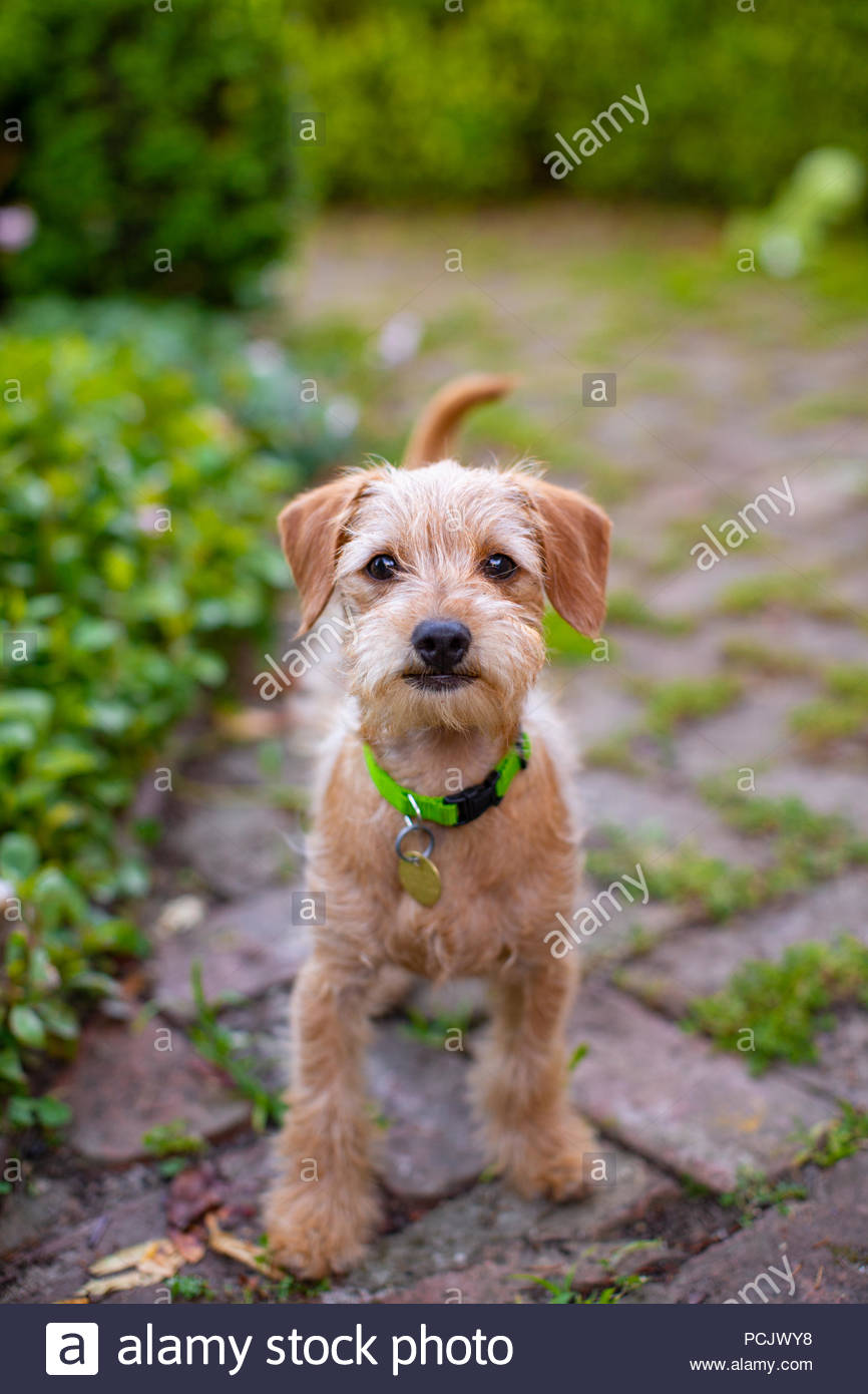 Helle Augen neugierig Terrier mix Welpe mit schäbigen Rot braunes Fell stehen auf Stein Terrasse im Garten Stockbild