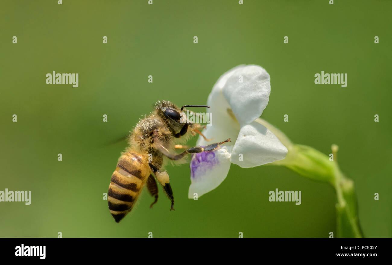 In der Nähe von Biene, Biene, Wespe, Hoverfly Stockbild