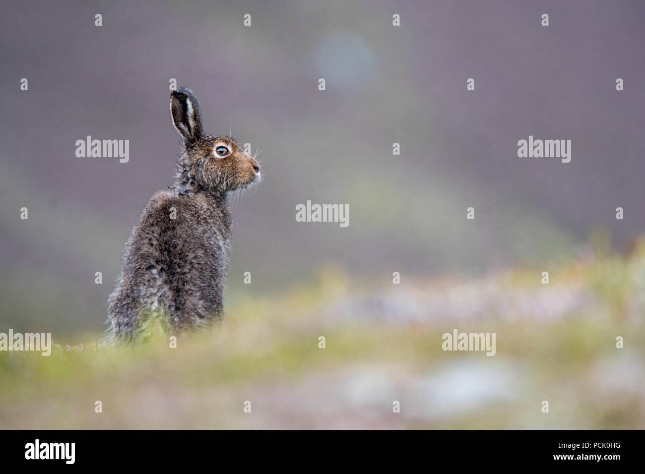 Nasse Schneehase (Lepus timidus) sitzt auf einem Hügel im Sommer nach Regendusche Stockbild