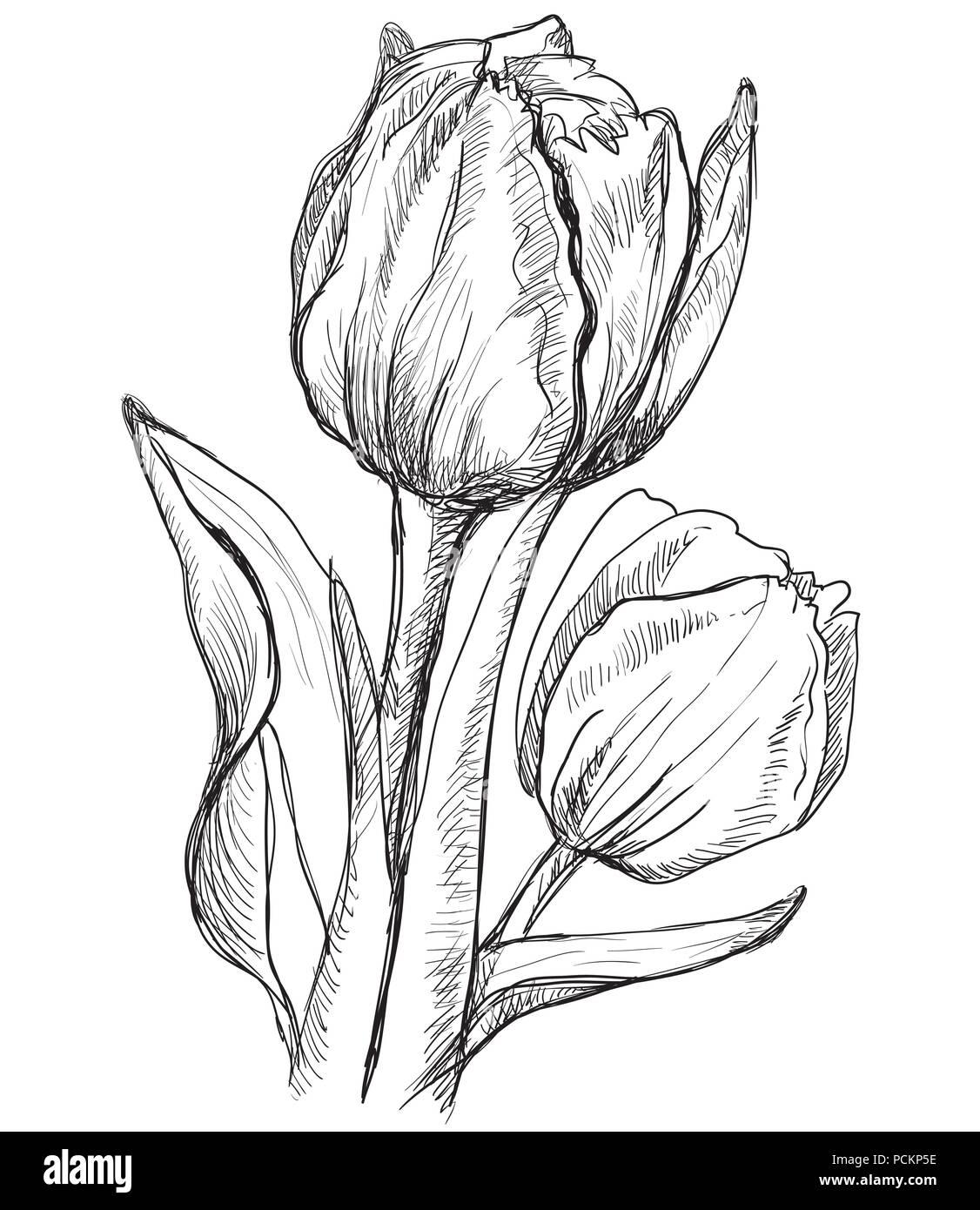 hand tulpe blume gezeichnet vektor monochromen abbildung auf wei em hintergrund vektor. Black Bedroom Furniture Sets. Home Design Ideas