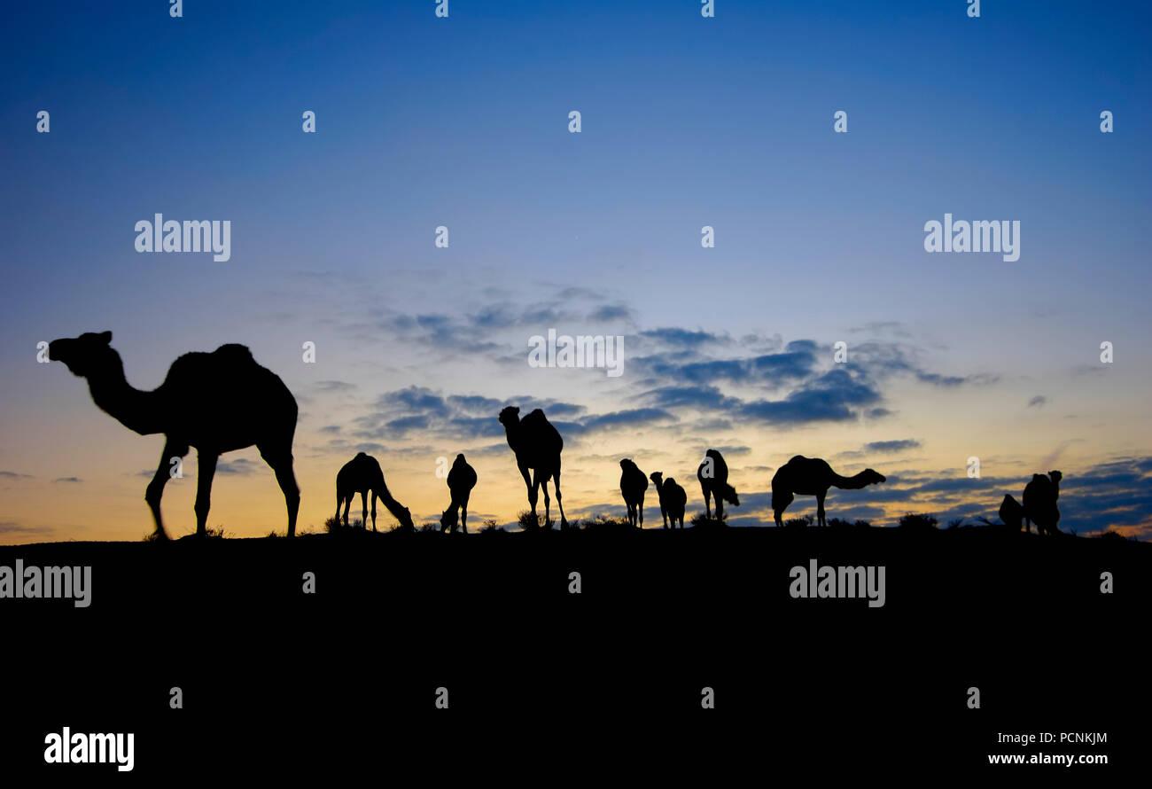 Israel, Negev Wüste, die Silhouette eines Herde Kamele bei Sonnenuntergang Stockbild
