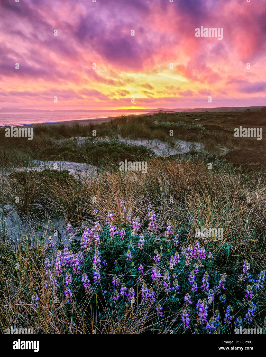 Sonnenuntergang, Lupine, Limantour Strand, Point Reyes National Seashore, Kalifornien, Marin County, Kalifornien Stockbild