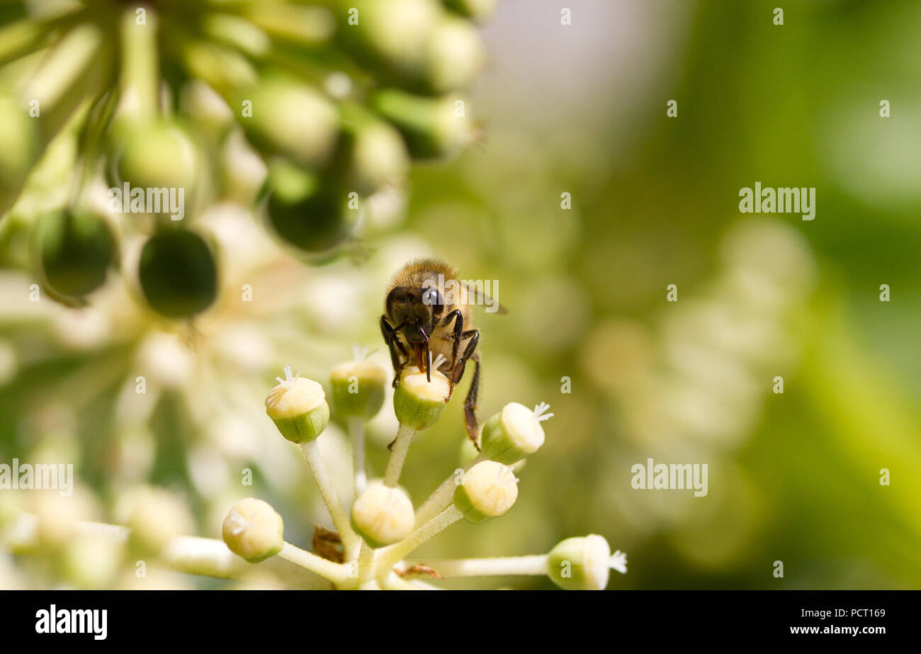 Sammeln von Blütenpollen auf weiße Blume mit unscharfen grünen Hintergrundfoto Stockbild