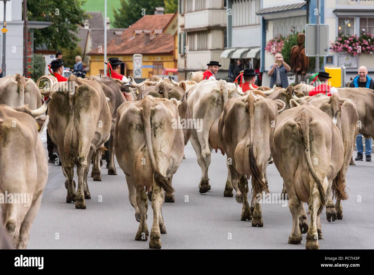 Herde von Rindern während der alpabzug in Urnäsch, Appenzeller Land, Kanton Appenzell Ausserrhoden, Schweiz Stockbild