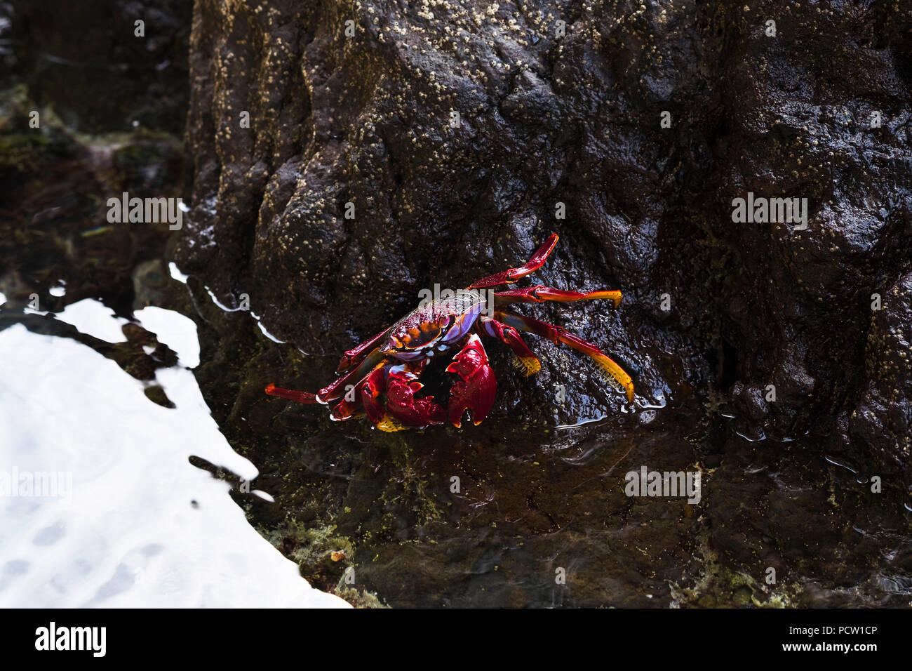 Ostatlantik Red Rock Crab (Grapsus adscensionis), La Gomera, Kanarische Inseln, Kanaren, Spanien Stockfoto