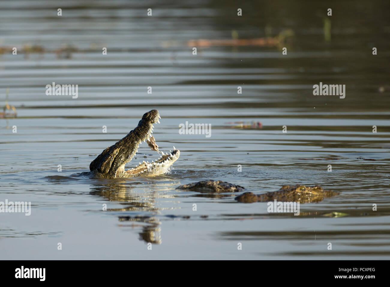 Nilkrokodil (Crocodylus niloticus) Ernährung Stockbild