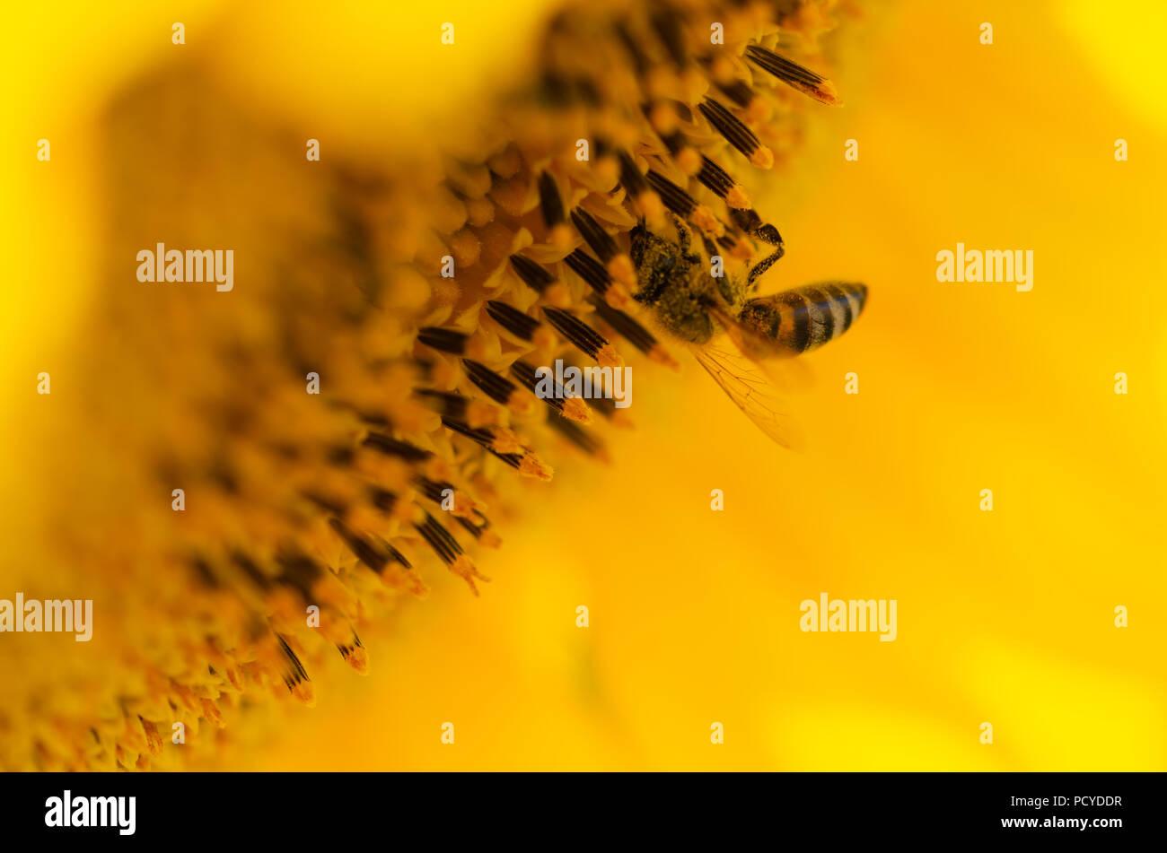 Biene auf eine Sonnenblume im Sommer. Stockbild