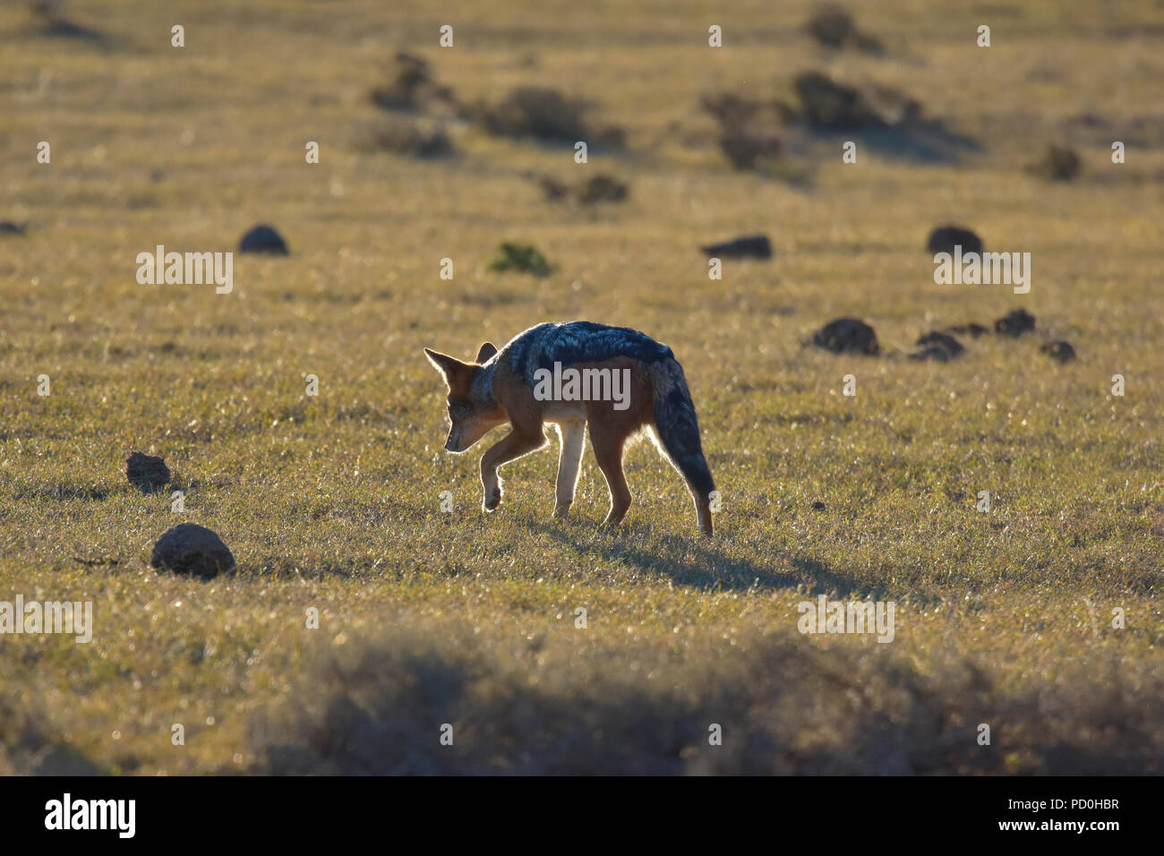 Südafrika, ein fantastisches Reiseziel Dritter und Erster Welt gemeinsam zu erleben. Black backed jackal Hintergrundbeleuchtung. Addo Elephant Park. Stockbild